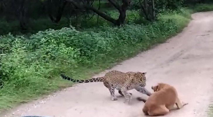 ataque safari perro y felino