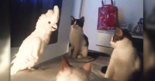 Cover Una cacatúa piensa que es un gato y así reaccionan sus hermanos gatunos