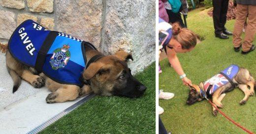 Cover Hizo su examen para convertirse en perro policía pero no lo aceptaron por ser demasiado cariñoso