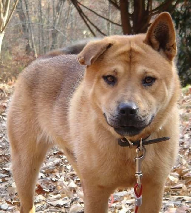 Pit bull y chow chow = bull chow