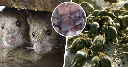Cover Cientos de ratas vivían bajo el piso de un edificio en China