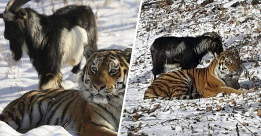 Cover Intentaron que un tigre se comiera a una cabra, en lugar de eso se hicieran amigos
