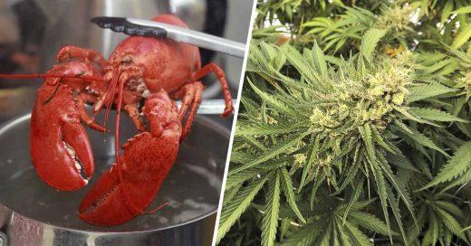 Cover En un restaurante de mariscos sedan con marihuana a sus langostas