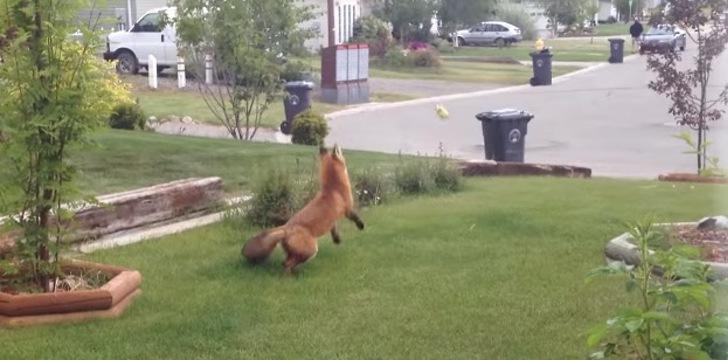Zorro juega con pelota en jardín