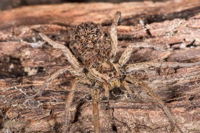 araña madre cargando a sus crías