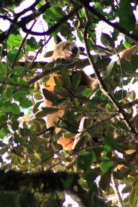 canguros de los árboles viven