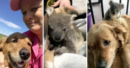 Cover Perrito golden retriever salvó la vida de un bebé koala