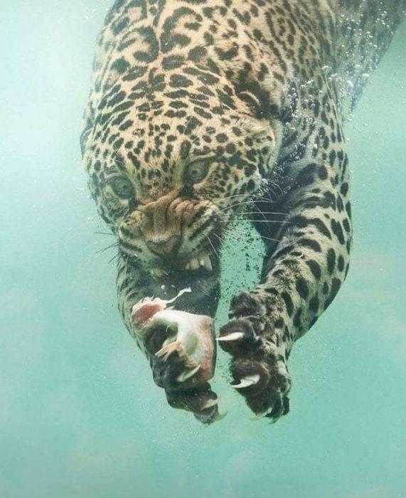 leopardo bajo el agua