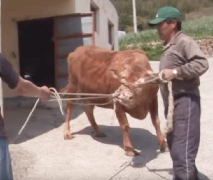 llora cuando venden a la vaca que lo crío