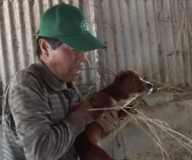 lloró cuando se llevaron a su vaca