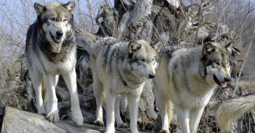 Cover El parque de Cabárceno sacrifica a tiros a todos sus lobos adultos