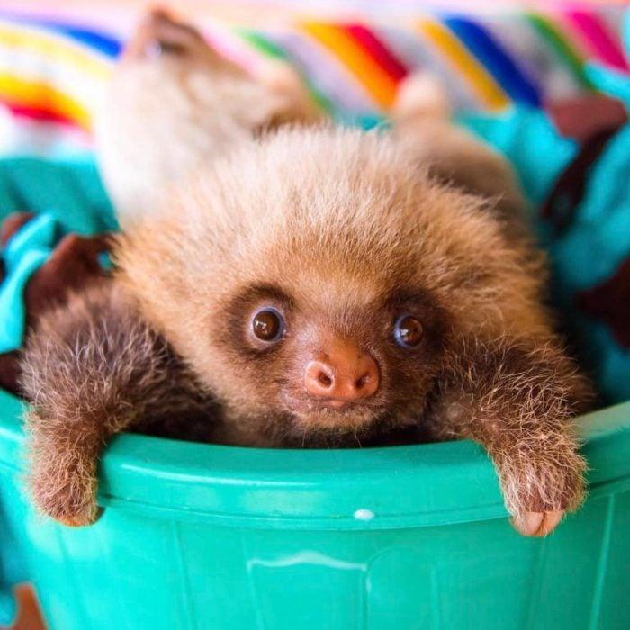 Osos perezosos sloth