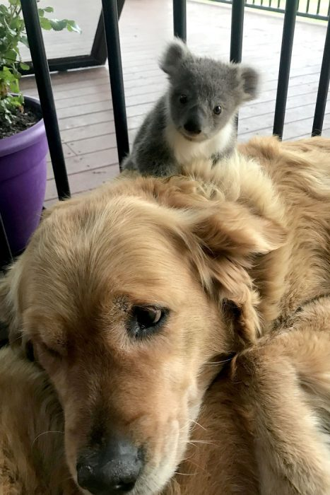 perrita salvó a un koala