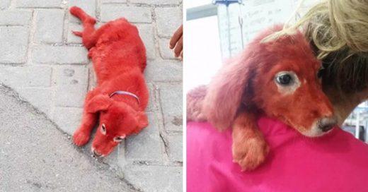 Cover Perro que fue teñido de rojo es rescatado