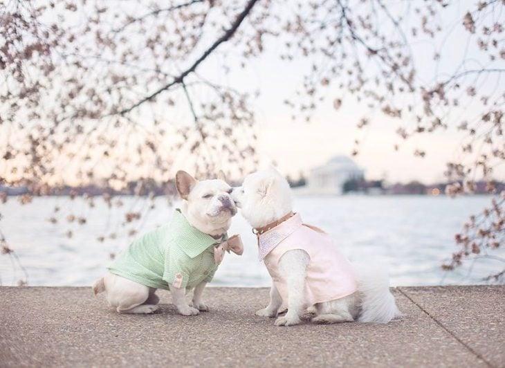 Chihuahua y bull dog luna sebastian