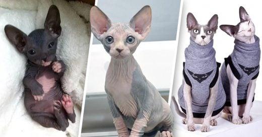 Cover Motivos para amar a los gatos esfinge