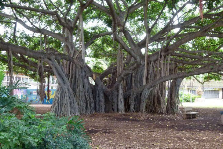 árbol enorme