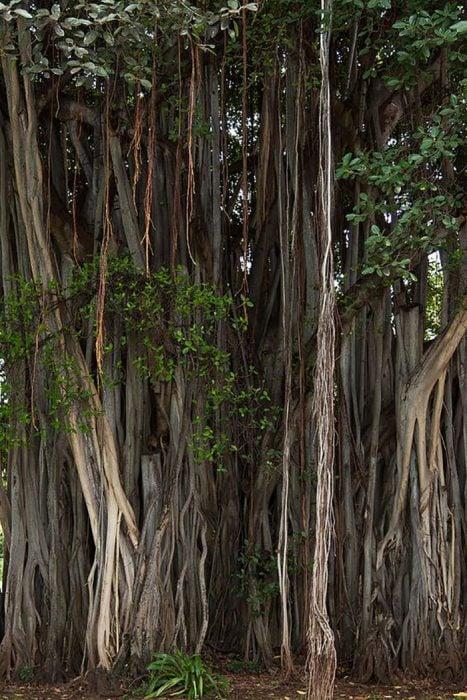 raíces de baniano