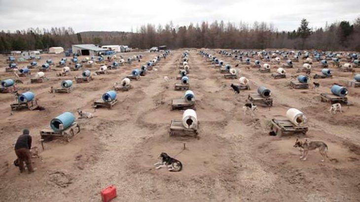 perros de trineo en campo abierto