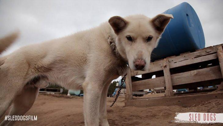 perro de trineo triste