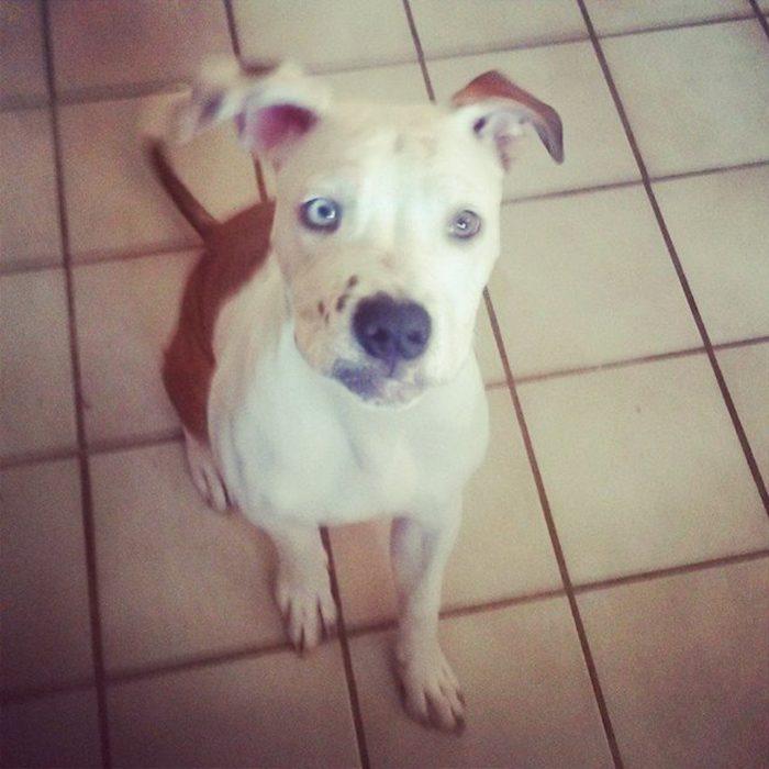 perrito pit bull con ojos de diferente color