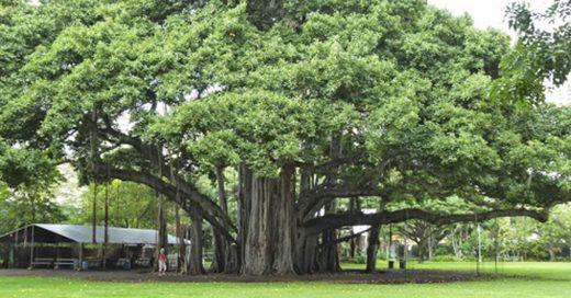 Cover el árbol que parece un bosque entero