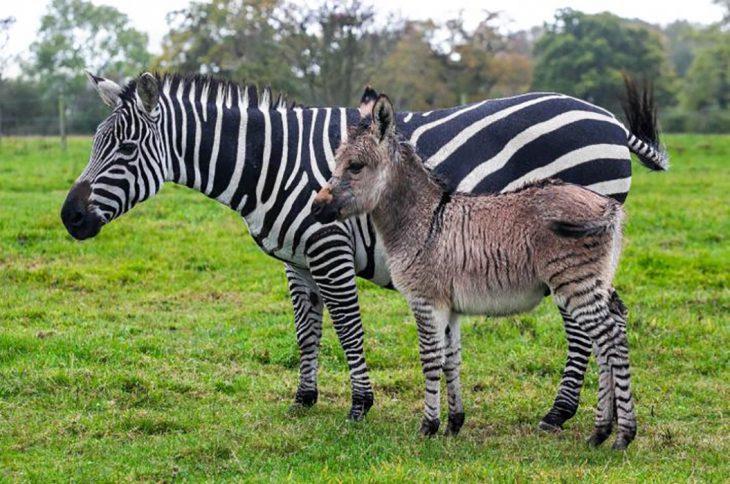 mujer con híbrido de zebra
