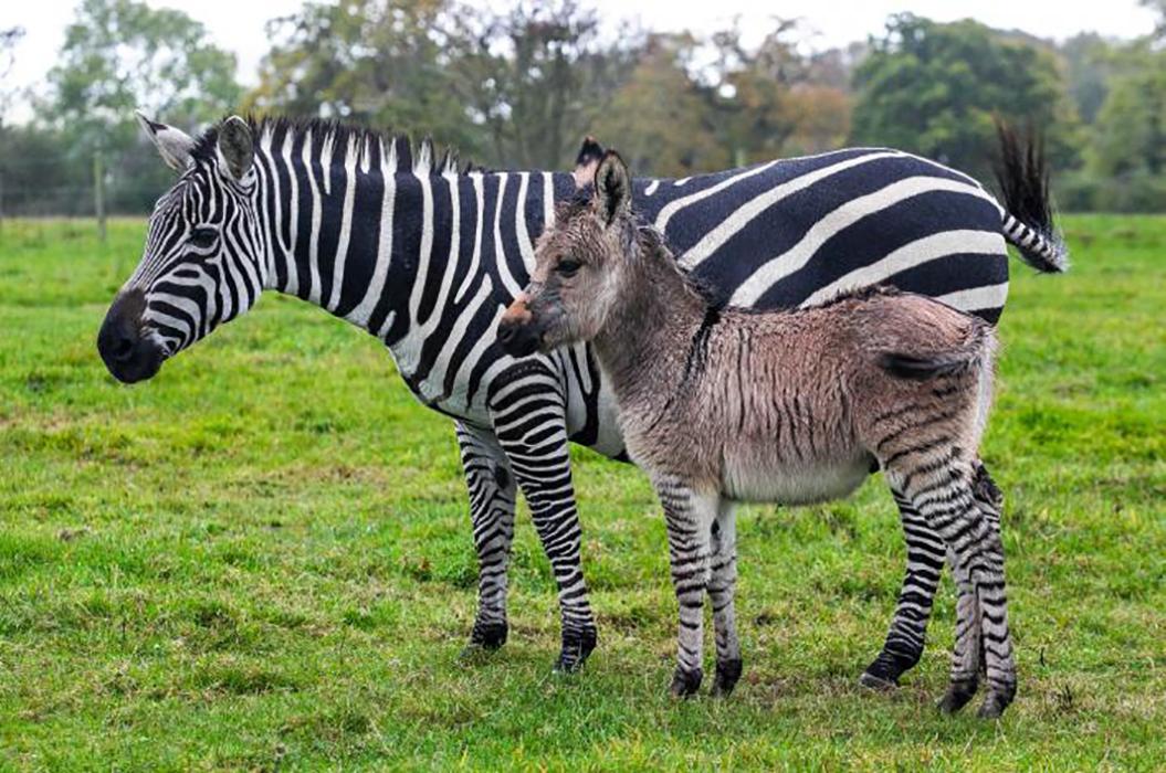 Resultado de imagen para cebra y burro cruza