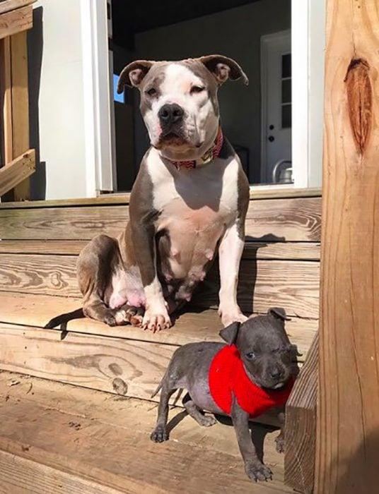 pitbull hembra y cachorro