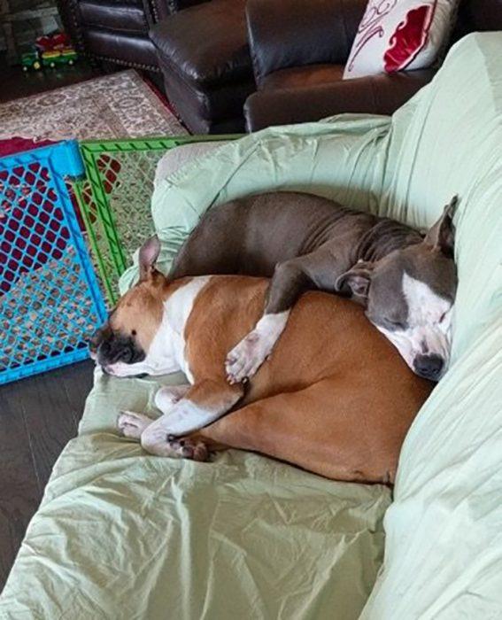 dos perros dormidos juntos