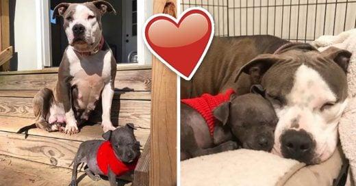 Cover Pit bull que perdió a sus bebés adopta una cachorra huérfana