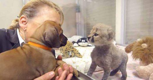 Cover perrita y guepardo son amigos de por vida