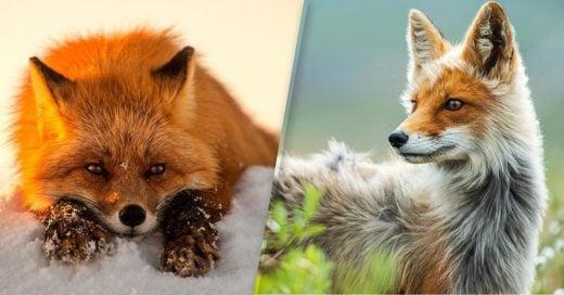 Cover Minero Ruso toma las fotografías más asombrosas de los zorros del ártico