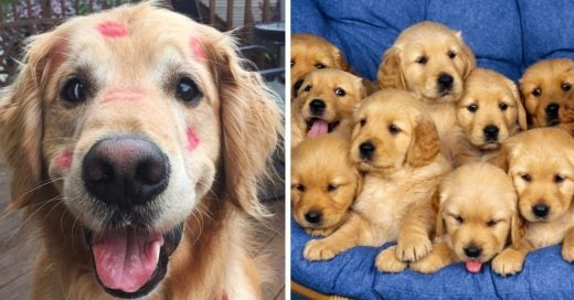 Cover Pruebas de que los golden retriever son los perros más adorables de todos