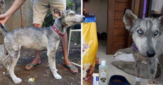 Cover Encontró a un husky desnutrido y a punto de morir