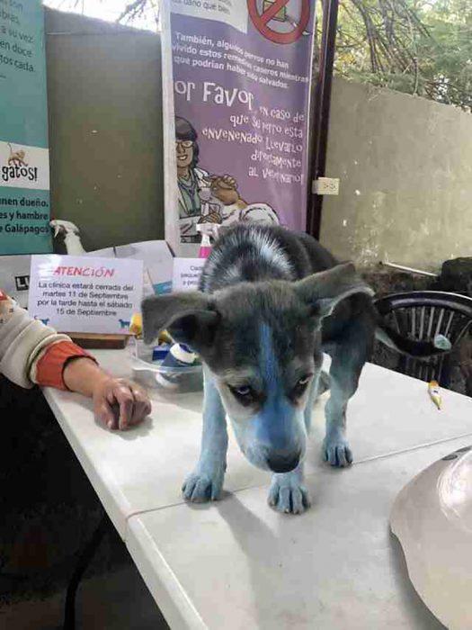 husky azul
