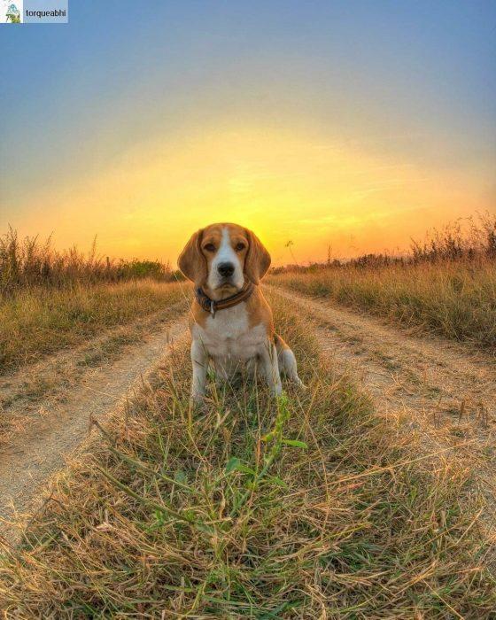 amamos a los perros Beagles
