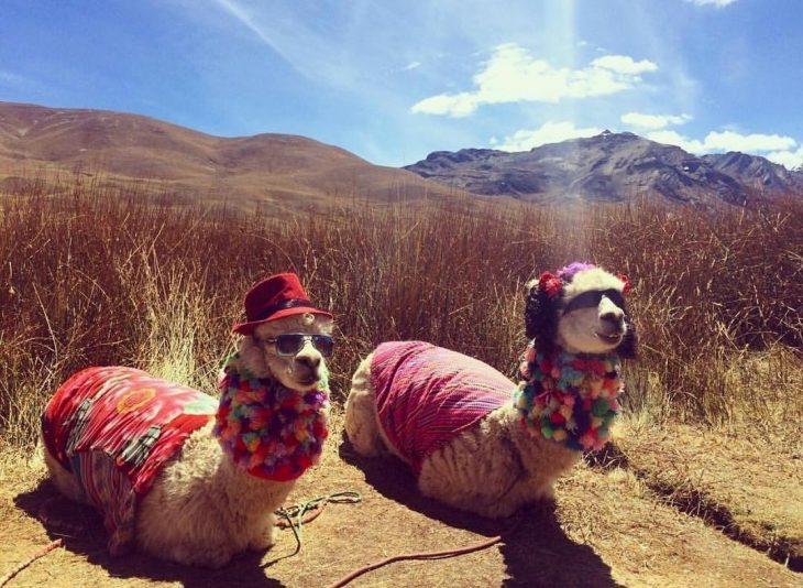 alpacas hermosas recreoviral.com