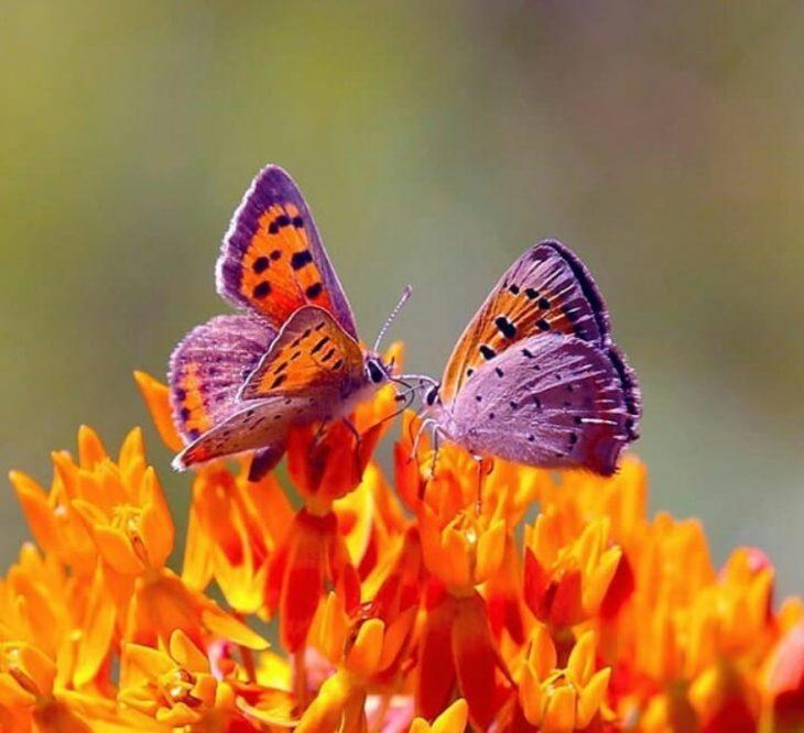 mariposas moradas