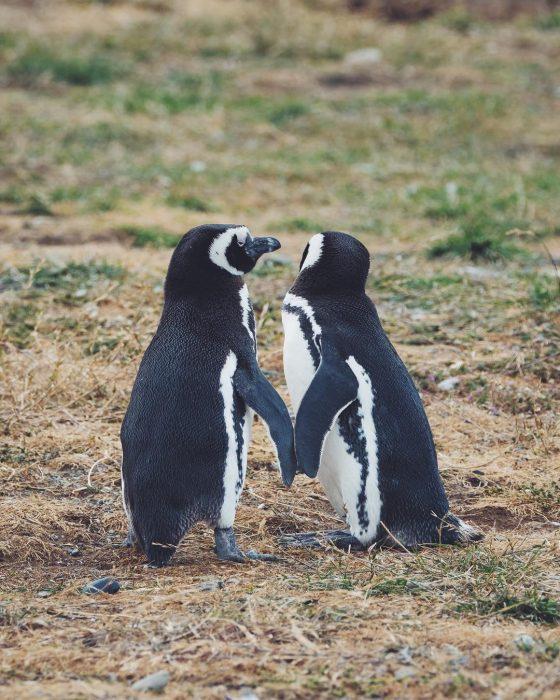 pareja pinguinos