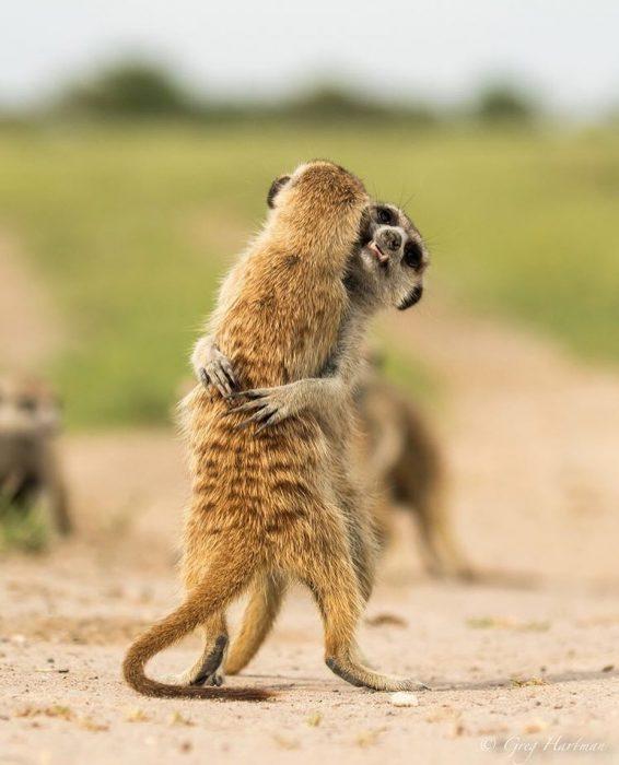 suricatas abrazándose