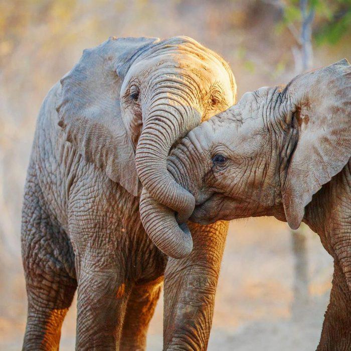 beso de elefantes
