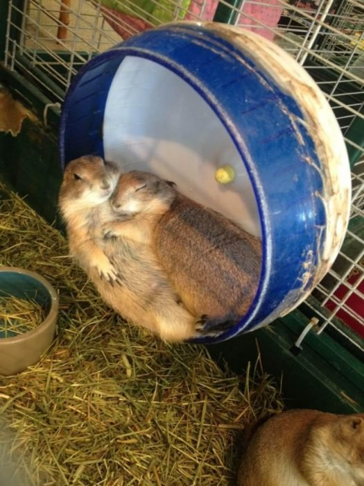 abrazo de roedor