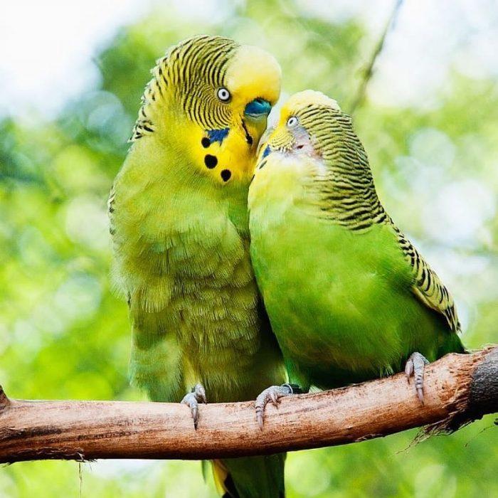 pajaritos besándose