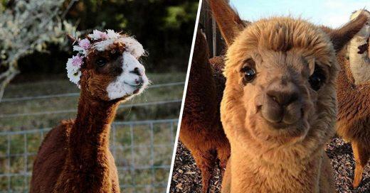 Cover razones para enamorarte como un loco de las alpacas