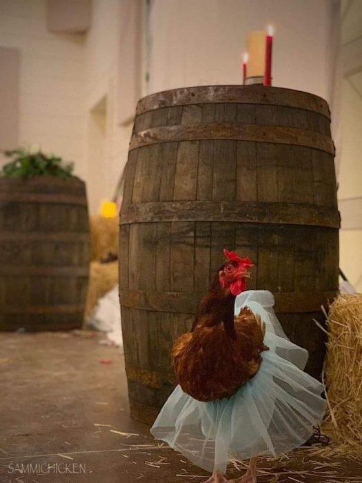 gallina y barril