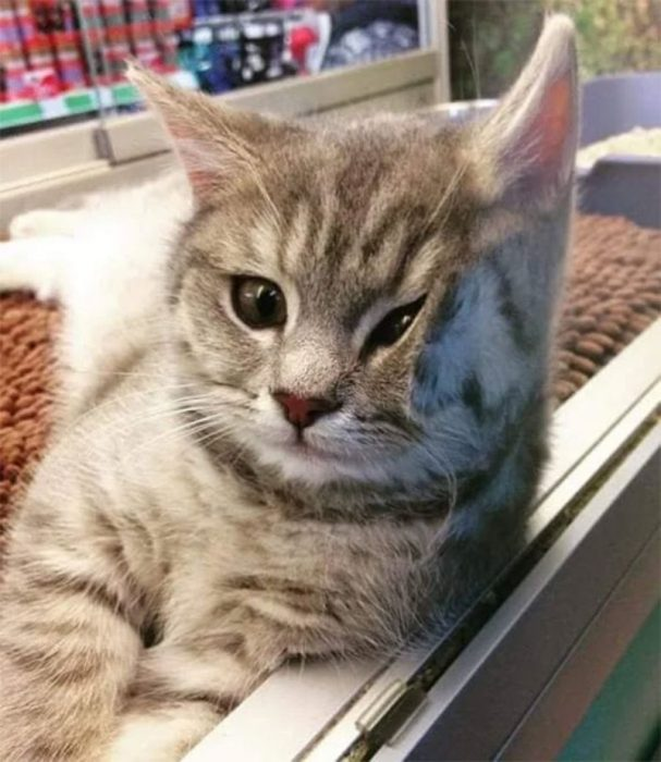 gato cachete aplastado