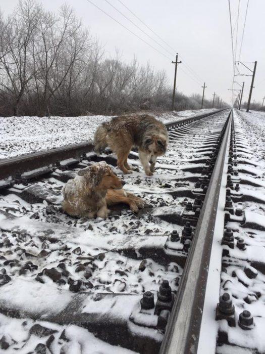 dos perritos en las vías del tren