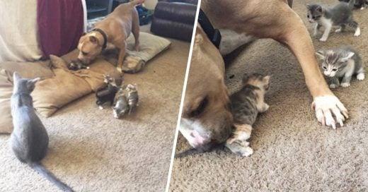 Cover Pitbull cuida a los gatitos de su amiga felina como si fueran propios
