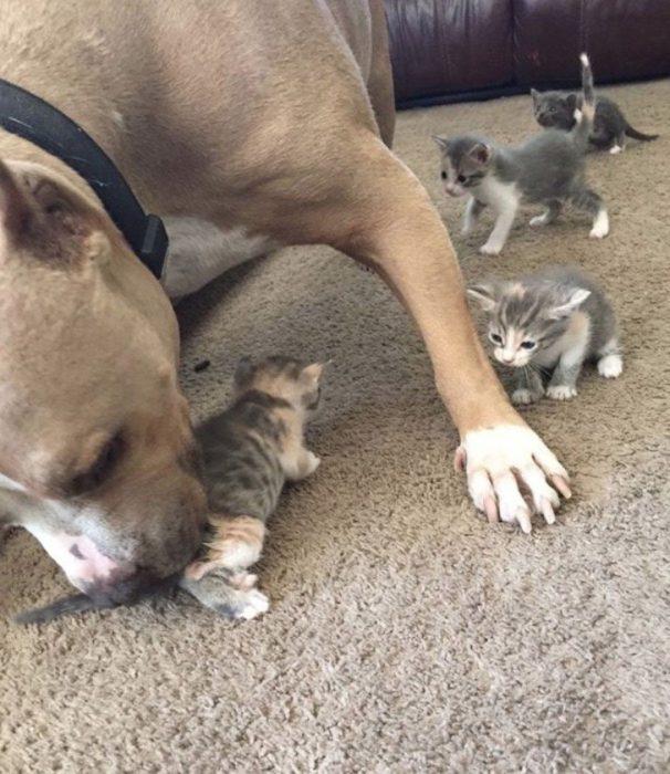 pitbull y cachorros